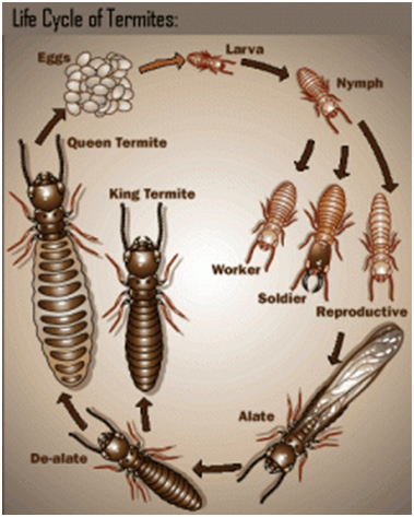 life cycle of melbourne termites